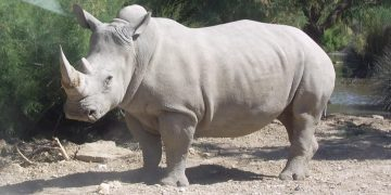 The whito rhino is an endangered specie.